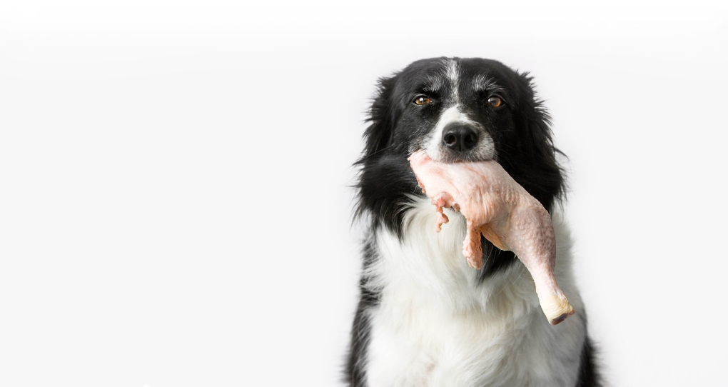 Dog (Black and White Border Collie) with Raw Chicken Thigh in Mo